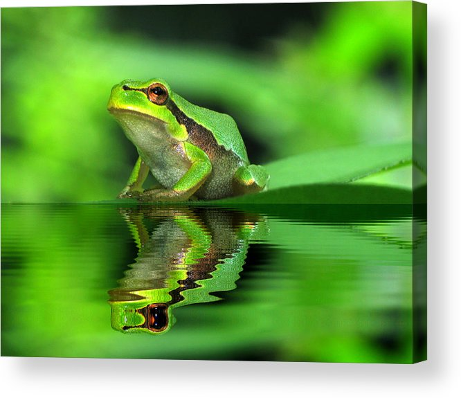 Amphibian Acrylic Print featuring the photograph Tree Frog by Odon Czintos