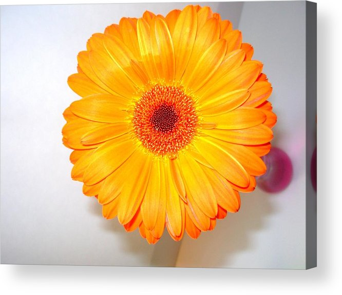 Gerbera Photographs Acrylic Print featuring the photograph 1424c by Kimberlie Gerner