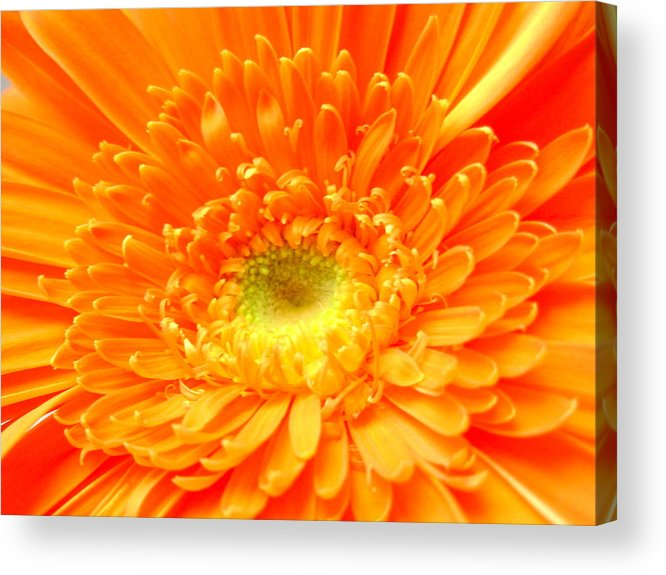 Gerbera Photographs Acrylic Print featuring the photograph 1626-001 by Kimberlie Gerner