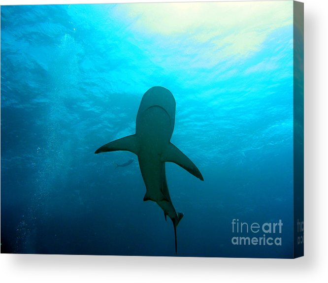 Reef Shark Acrylic Print featuring the photograph Reef Shark by Pedro Capelossi