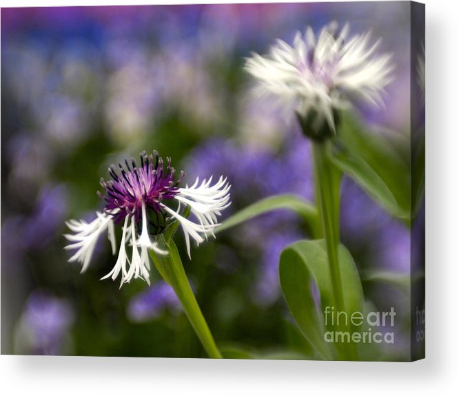 Blue Flowers Acrylic Print featuring the photograph Summer Blues by Cheryl Butler