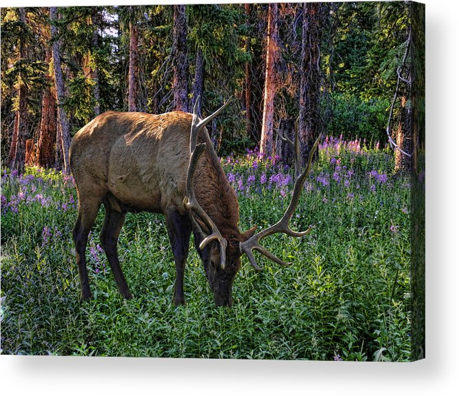 Elk Acrylic Print featuring the photograph 2374 by Peter Holme III