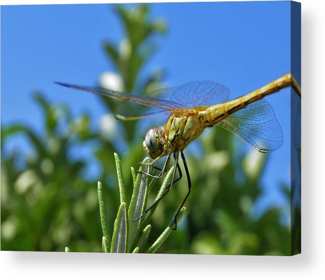 Dragonfly; Garden; Rosemary; Insect; Green; Plant; Nature; Sunlight; Macro; Blue; Eyes; Wings; Sky; Summer; Warm; Herb; Background; Decorative; Acrylic Print featuring the photograph Dragonfly by Werner Lehmann