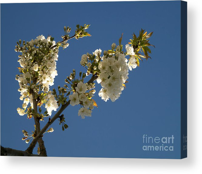Background Acrylic Print featuring the photograph Cherry Blossom by Odon Czintos
