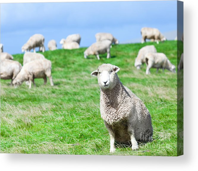 Sheep Acrylic Print featuring the photograph Sheeps by MotHaiBaPhoto Prints