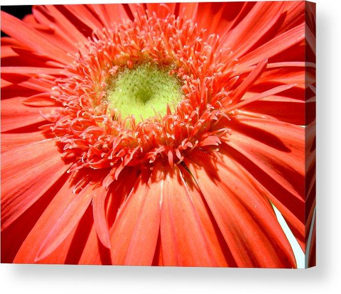 Gerbera Photographs Acrylic Print featuring the photograph 62471 by Kimberlie Gerner