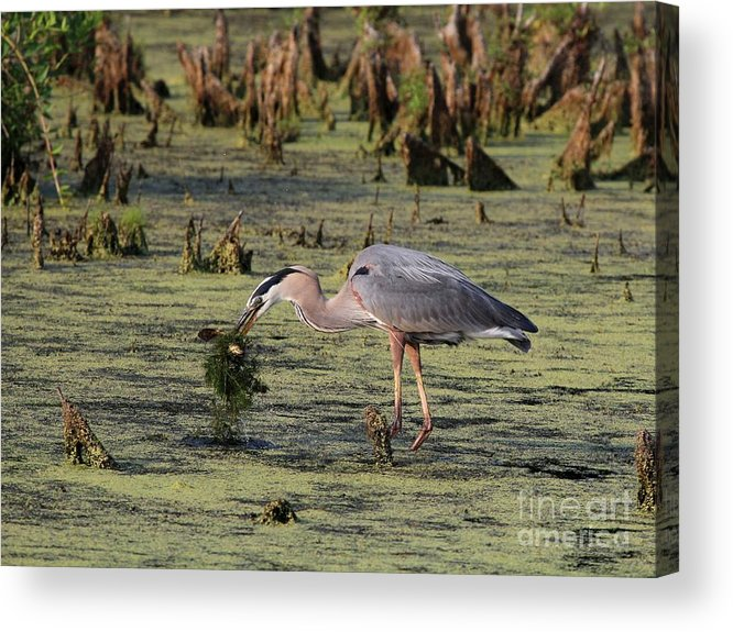 Nature Acrylic Print featuring the photograph Great Blue Heron by Jack R Brock