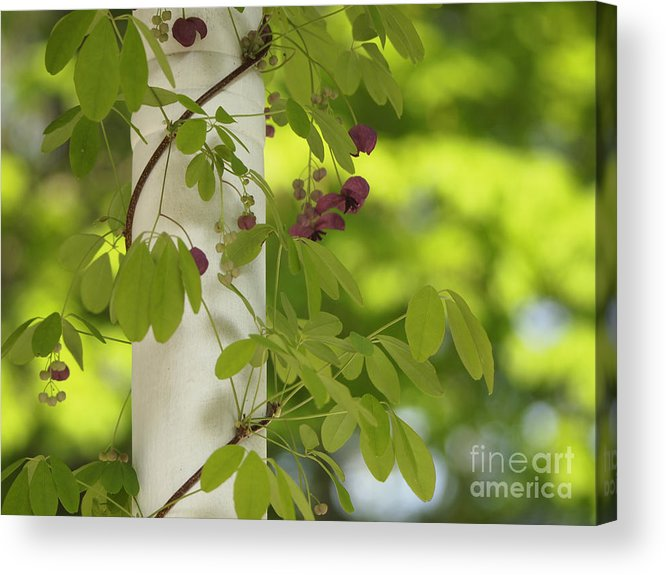 Akebia Acrylic Print featuring the photograph Akebia by Cheryl Butler