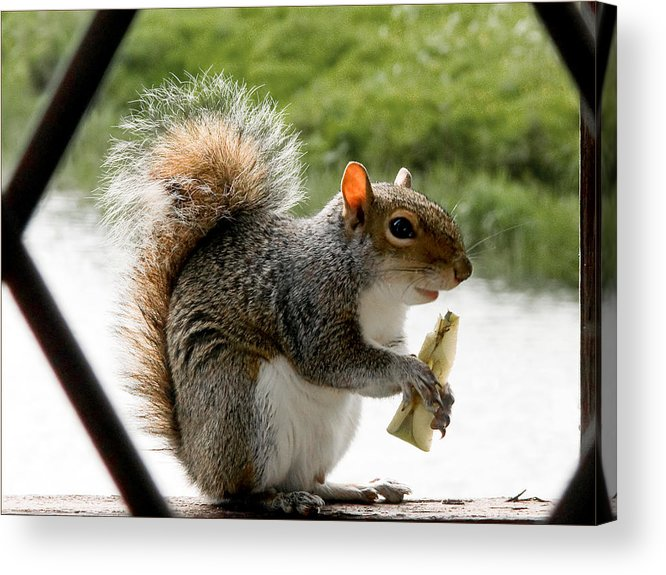 Squirrel Acrylic Print featuring the photograph An Apple A Day by Barry Hayton