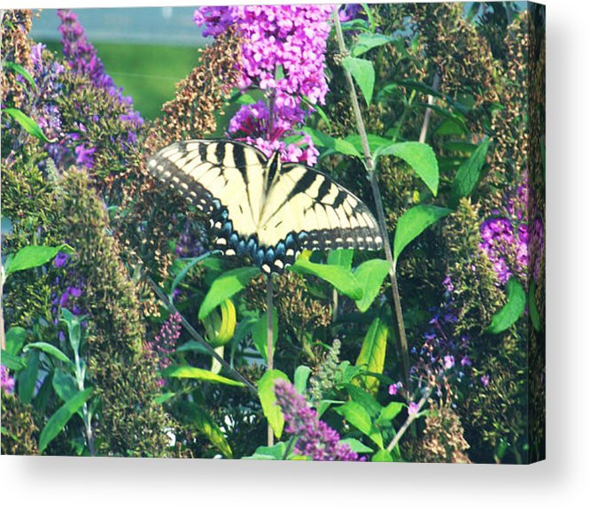 Butterfly Acrylic Print featuring the photograph Beauty In Nature by Renae Sears