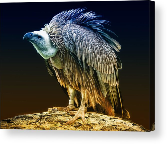Vulture Capitalist Acrylic Print featuring the photograph Beggars Banquet by Joachim G Pinkawa