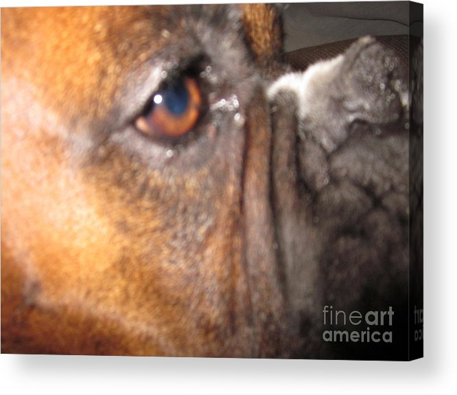 Acrylic Print featuring the photograph Benson The Bullie by Miss McLean