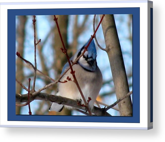 Bird Of Blue Acrylic Print featuring the photograph Bird Of Blue by Debra   Vatalaro