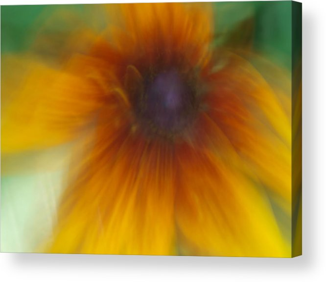 Black Eyed Susan Acrylic Print featuring the photograph Black Eyed Susan by Cindy Carr