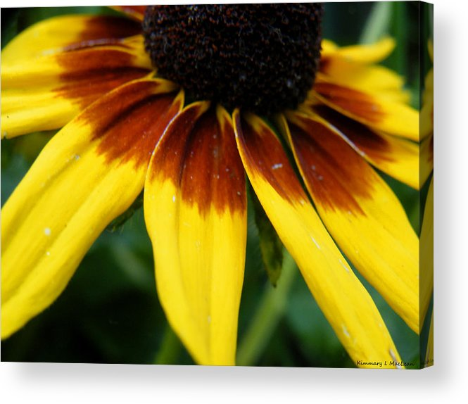 Black Acrylic Print featuring the photograph Black Eyed Susan by Kimmary MacLean