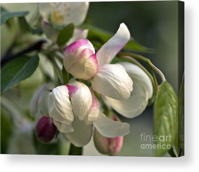 Apple Blossoms Acrylic Print featuring the photograph Blossoms And Buds by Cheryl Butler