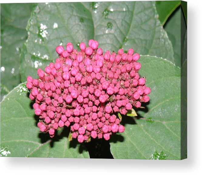 Buds Acrylic Print featuring the photograph Buds In Pink by Sharon Downey Miniard