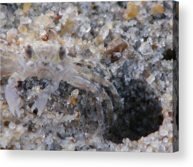 Crab Acrylic Print featuring the photograph Caught Me by April Camenisch