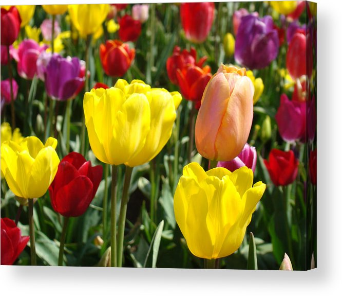 Colorful Bright Tulip Flowers Field Tulips Floral Art Prints Acrylic Print
