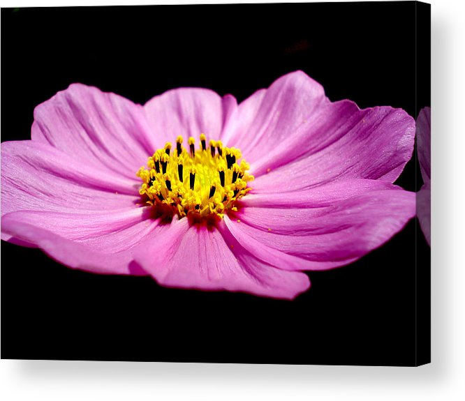 Flower Acrylic Print featuring the photograph Cosmia Pink Flower by Sumit Mehndiratta