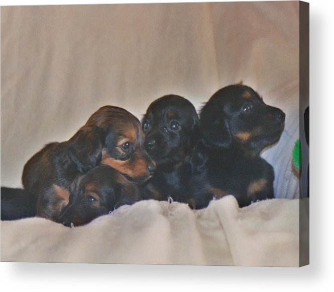 Acrylic Print featuring the photograph Dachshund Puppies by Victoria Sheldon