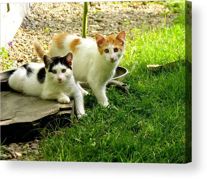 Kittens Acrylic Print featuring the photograph Double Trouble by Azthet Photography
