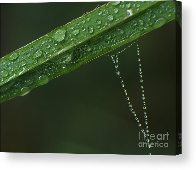 Animal Acrylic Print featuring the photograph Drops In Web by Odon Czintos