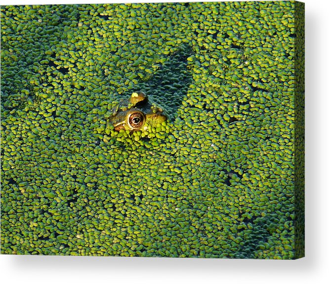 Bullfrog Acrylic Print featuring the photograph Duckweed Soup by Theo OConnor