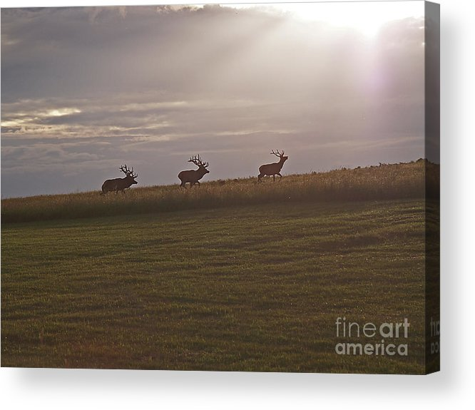 Elk Acrylic Print featuring the photograph Elk 1. by Monica Havelka