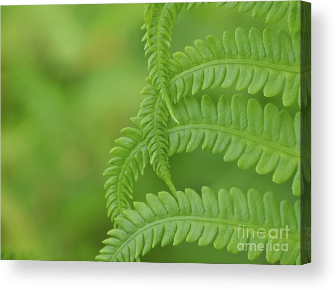 Fern Acrylic Print featuring the photograph Ferns Take A Bow by Cheryl Butler