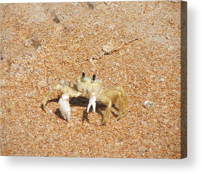 Sand Acrylic Print featuring the photograph Fiddler Crab by Renata Mayes