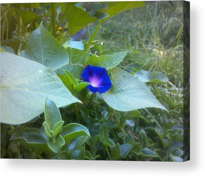 Morning Glory Acrylic Print featuring the photograph Garden Glory by Staci Black