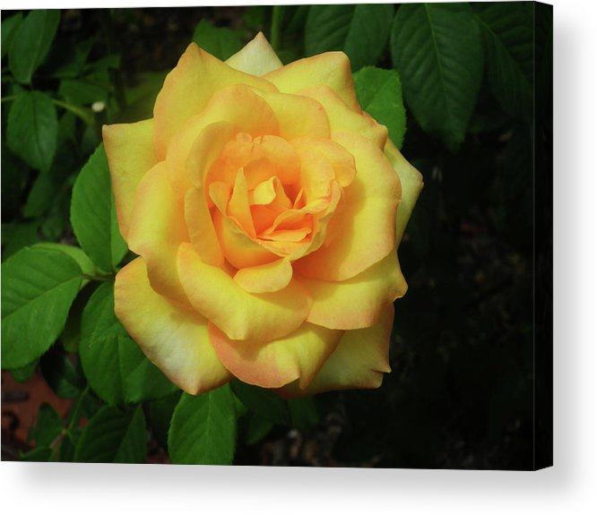 Rose. Roses Acrylic Print featuring the photograph Gold Medal Rose by Wayne Skeen
