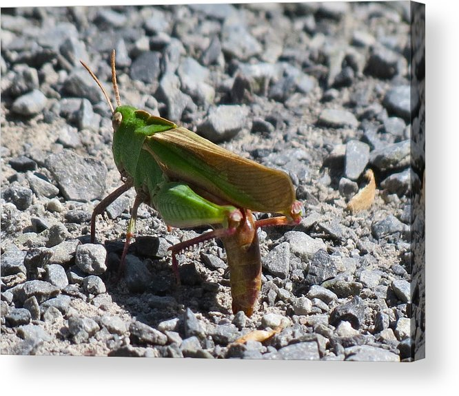 Egg Laying Acrylic Print featuring the photograph Grasshopper by Azthet Photography
