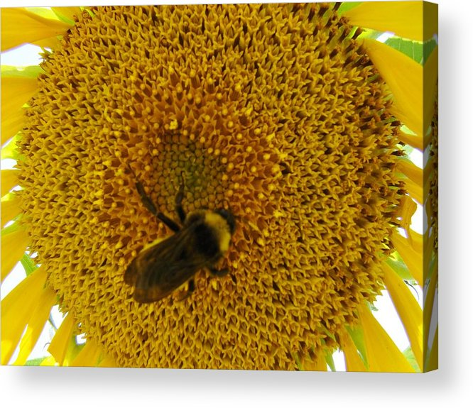 Bee Acrylic Print featuring the photograph Harvesting The Sun by Michael MacGregor