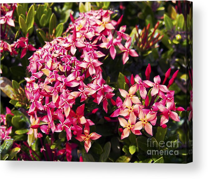 Fine Art Photography Acrylic Print featuring the photograph Ixora by Patricia Griffin Brett