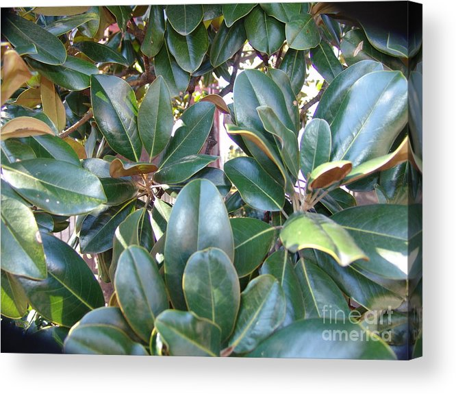 Acrylic Print featuring the photograph Magnolia Leaves 3 by Rod Ismay