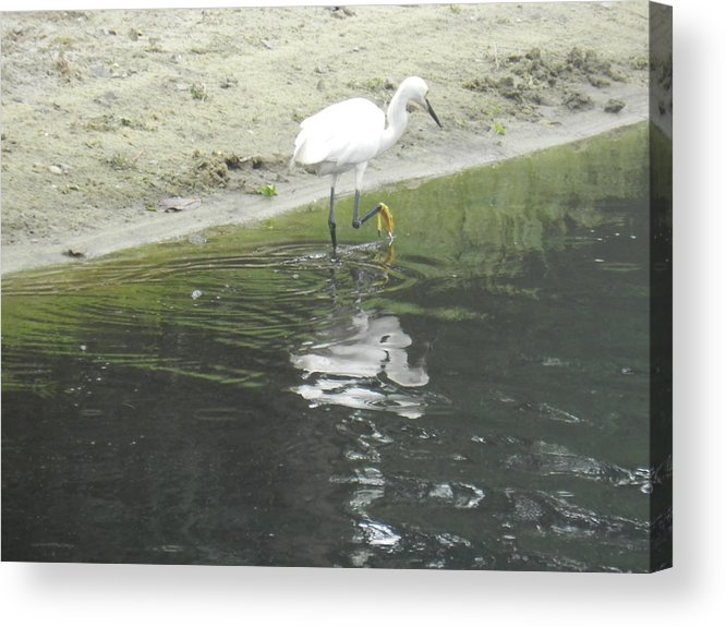Bird Acrylic Print featuring the photograph Mirror Image by Debra Webb