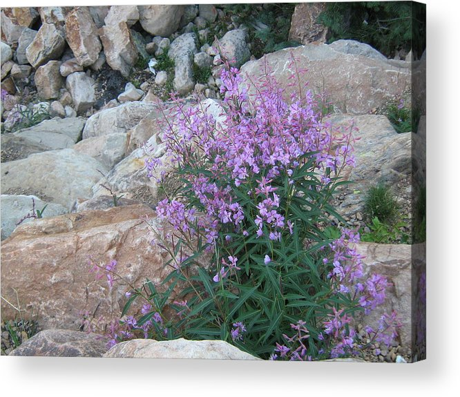 Wildflower Acrylic Print featuring the photograph Mountain Wildflowers by Neena Plant