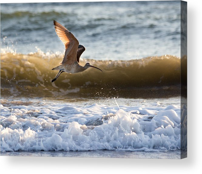 Sand Poper Acrylic Print featuring the photograph Mr. Piper by Kittysolo Photography