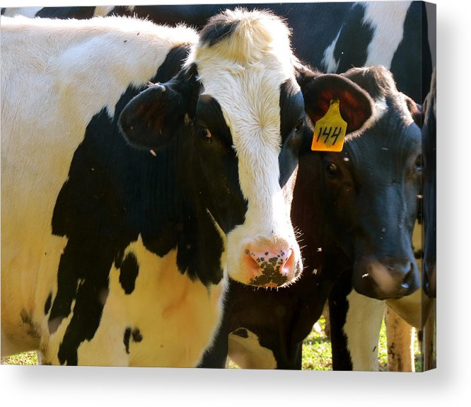 Cow Acrylic Print featuring the photograph Number 144 by Azthet Photography