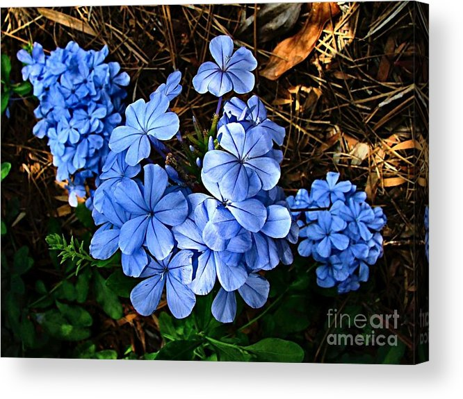 Blue Flowers Acrylic Print featuring the photograph On The Forest Floor by Julie Dant