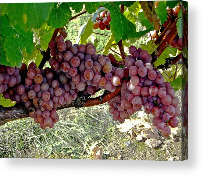 Purple Grapes Acrylic Print featuring the photograph Oregon Burgundy by Cheryl Colaw