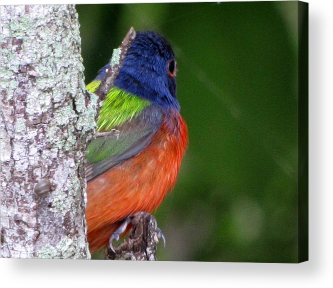 Painted Bunting Acrylic Print featuring the photograph Painted Bunting by Betty Berard