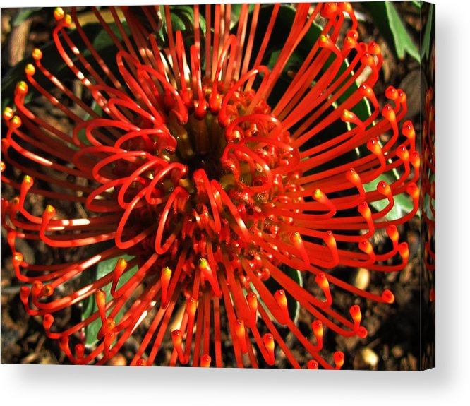 Acrylic Print featuring the photograph Pincushion Detail by Vijay Sharon Govender