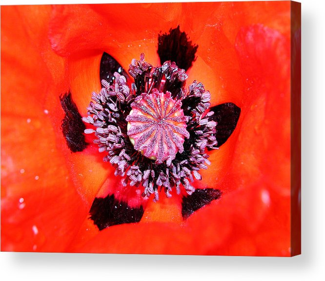 Heart Acrylic Print featuring the photograph Poppy's Heart by Mariella Wassing