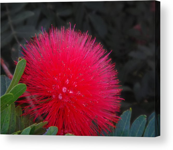 Puff Acrylic Print featuring the photograph Puff by Ginny Schmidt