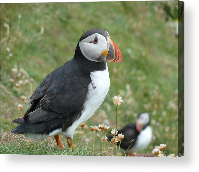 Puffin Acrylic Print featuring the photograph Puffin by George Leask