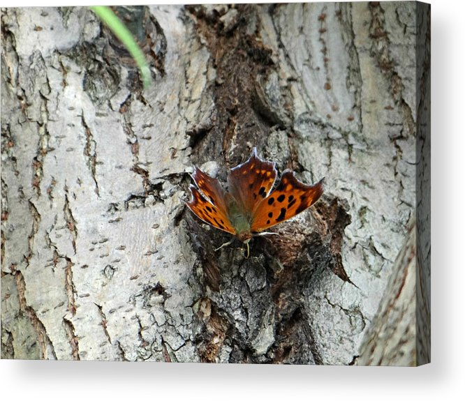 Butterfly Acrylic Print featuring the photograph Question Mark Butterfly by Brenda Conrad