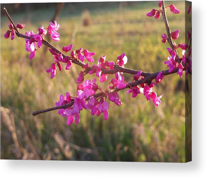 Trees Acrylic Print featuring the photograph Red Bud by Aaron Moore